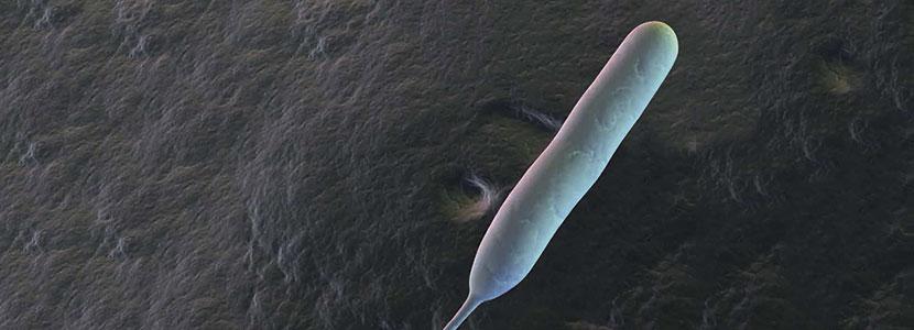 Campylobacter.png