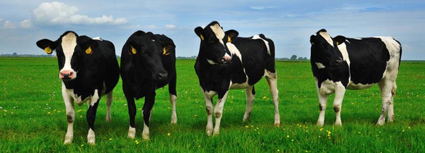 Vacas.png