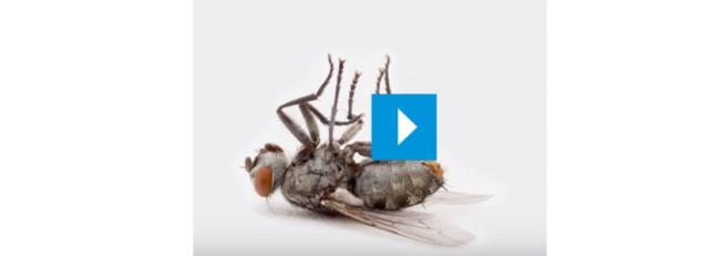 moscas porcino